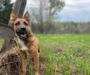 Google 4843-y Breed: German Shepherd/ Husky Age: 2 year Gender: Male Weight: 65 lbs Buddy was surrendered to the shelter because his previous owner as moving. Buddy is a very shy boy when meeting new […]