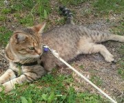 To me, Jack looked like a camping cat and during his first trip to the camp it took just 2 walks to get him used to the harness. He discovered  the freedom to explore around to...